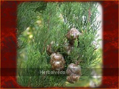 cypress_cupressus_sempervirens___spain