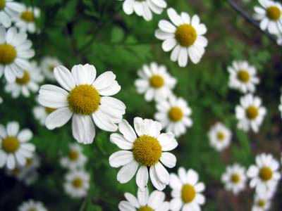 german-chamomile