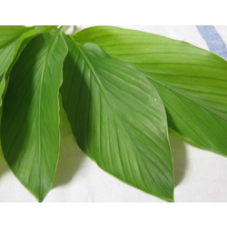 turmeric-leaf-oil