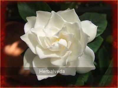 Gardenia essential oil gardenia jasminoides herbalveda mightylinksfo