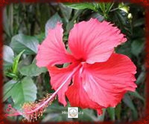 Hibiscus Flower Petals Hibiscus Rosa Sinensis Herbalveda